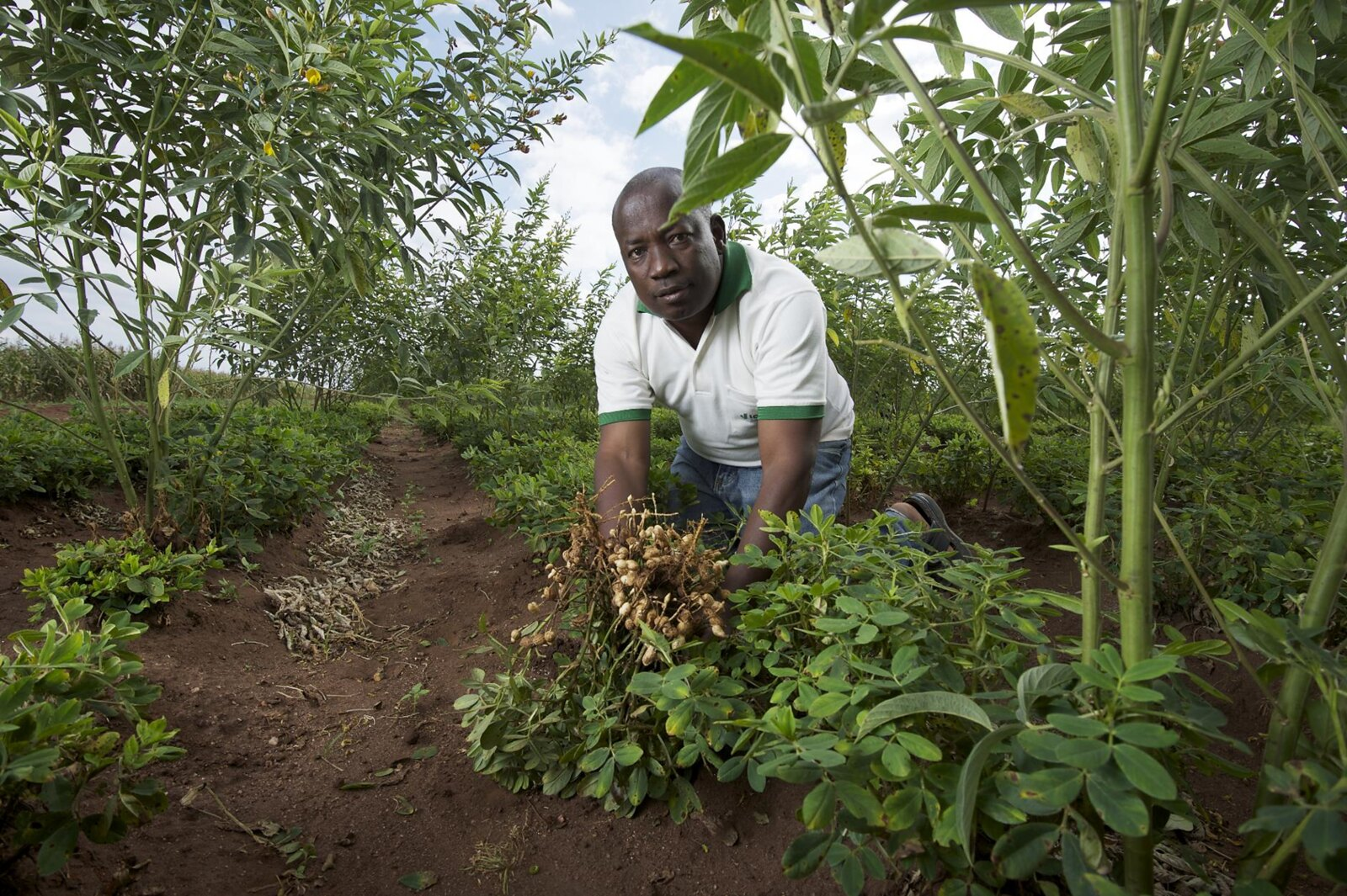 Pigeon pea and groundnut doubled-up legumes intercropping system in Malawi (Photo credit: Jim Richards)