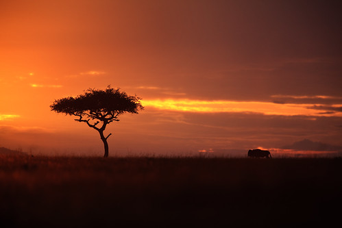 africa tree grass animal silhouette clouds sunrise landscape kenya safari afrika savannah plains acacia wildebeest gamedrive riftvalley eastafrica maasaimara acaciatree republicofkenya narokcounty maranorthconservancy