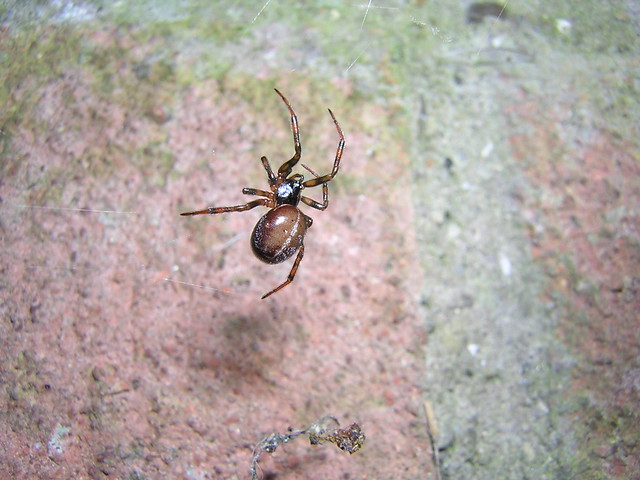 Little Steatoda bipunctata  Explore #10  Thank you and thanks for 10,000 views.