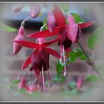 P1150254 Fuchsia