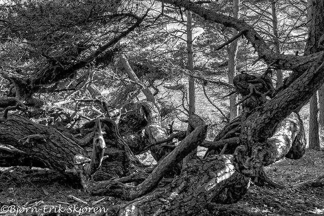 The troll pine V2 - (No) Trollfurua
