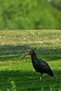 Northern Bald Ibis (Geronticus eremita) by Simon Valdez-Juarez