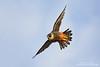 Bat Falcon (Falco rufigularis) by www.NeotropicPhotoTours.com