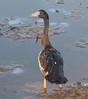 Magpie Goose (Anseranas semipalmata).01 by Geoff Whalan