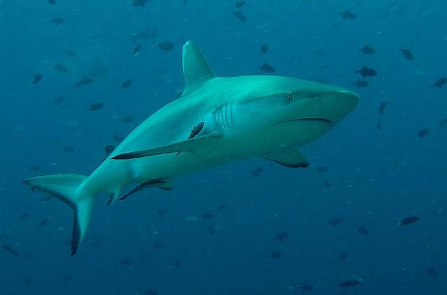 Requin gris de récif (Carcharhinus amblyrhynchos)  Maldives 2011