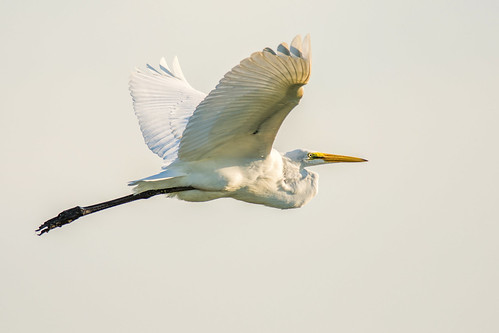 summer white bird philadelphia nature us nikon unitedstates pennsylvania wildlife flight highkey philly egret heinz greategret johnheinznwr d7200