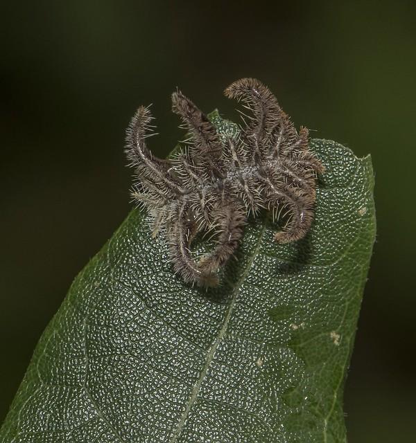 Monkey Slug Caterpillar On Leaf Tip