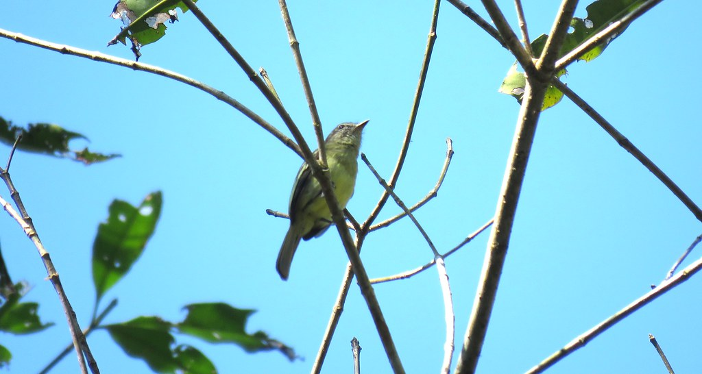 Fío-Fío de la Selva / Forest Elaenia (Myiopagis gaimardii) en la estación La Novia - MABOSINFRON, Purús, Ucayali