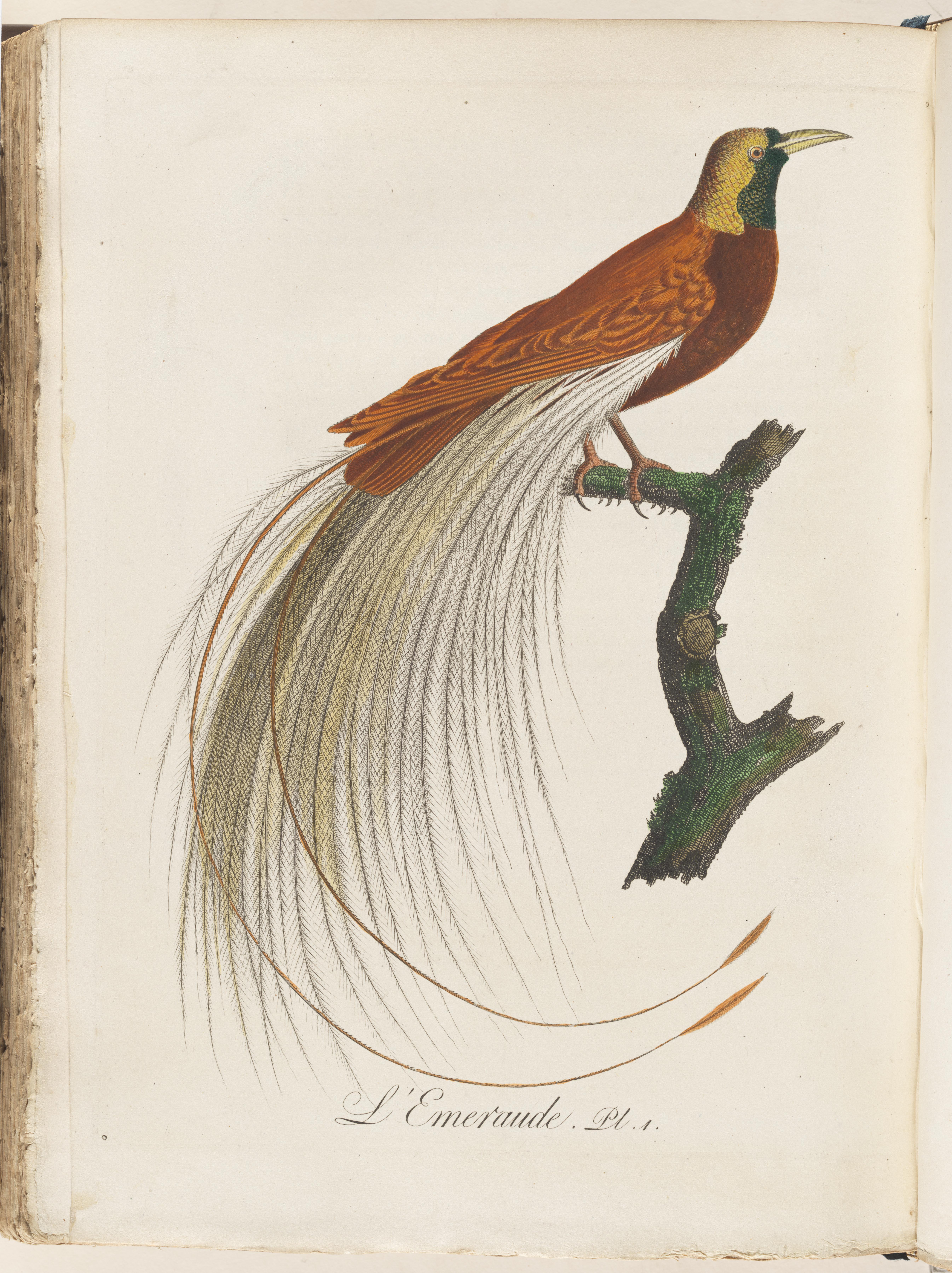 L'Emiraude from  L'Histoire des grimpereaux et des oiseaux de paradis.