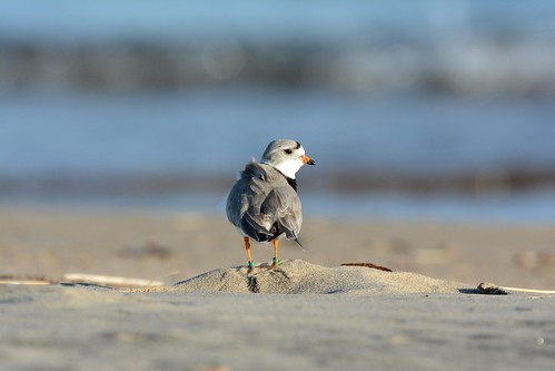 Piping Plover | by U.S. Fish and Wildlife Service - Midwest Region