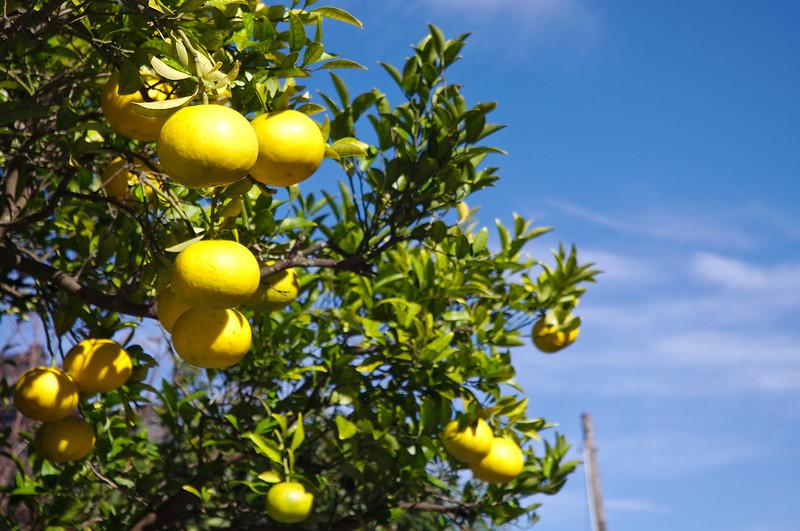 Natsu mikan, appelée Tangerine d'été