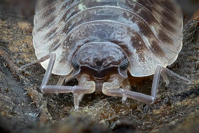 Porträt einer Mauerassel (Oniscus asellus)