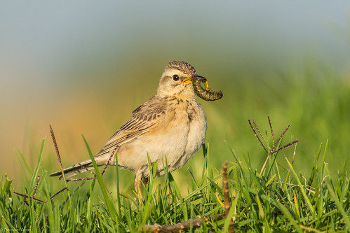 food bird southafrica george nikon gardenroute birdwatchers sewageworks d7100 africanpipit anthuscinnamomeus