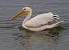 Great White Pelican by Wild Chroma