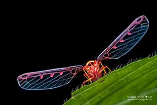 Derbid planthopper (Derbidae) - DSC_9683