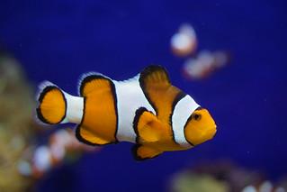 Clownfish   by hartantoteddy