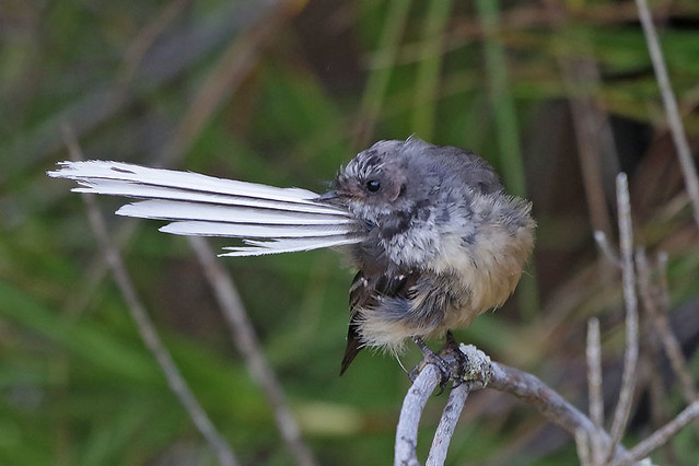 New Zealand Fantail