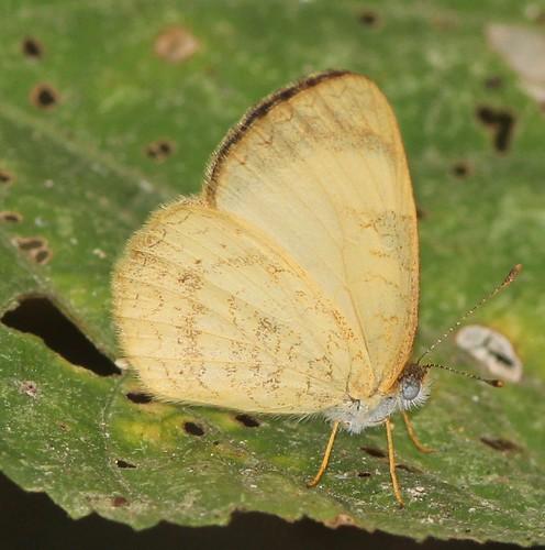 butterfly cyrestinae ecuador jorupe loja melitaeini nymphalidae richhoyer urracalodge