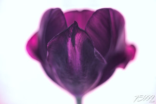 Tulip Transparency | by fs999