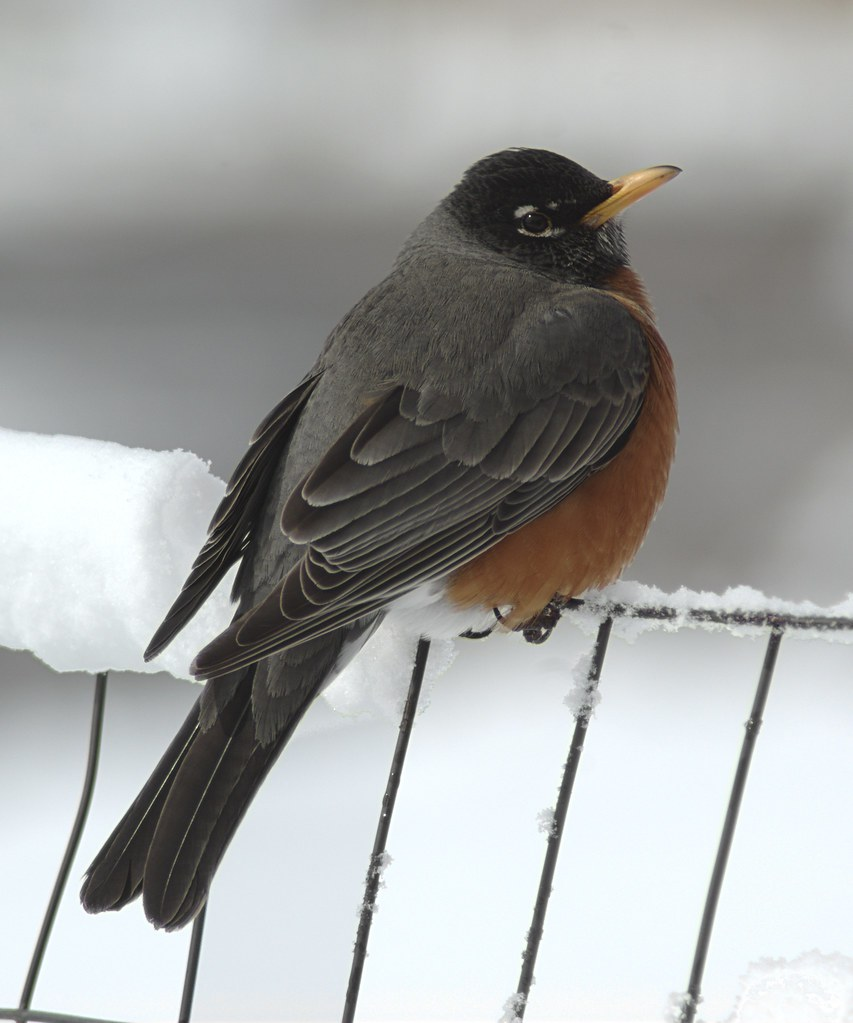 American Robin in snow
