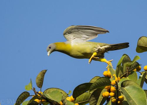nikond7100 afsnikkor300mmf4difed nikontc17eii yellowfootedgreenpigeon treronphoenicoptera dandeli