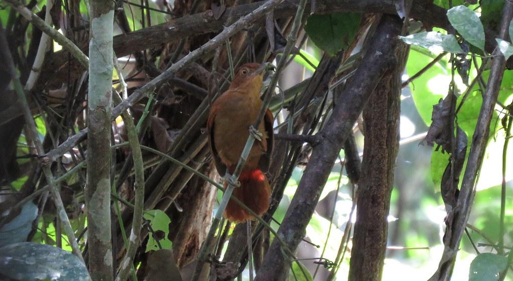 Hoja-Rasquero de Corona Castaña / Chestnut-crowned Foliage-gleaner (Automolus rufipileatus) en estación La Novia - MABOSINFRON, Purús, Ucayali