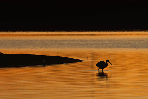 lake bird heron silhouette sunrise reflections landscape gold dawn colorado denver chatfieldlakestatepark