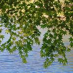 ヤマモミジ青葉 Acer matsumurae (green leaves)