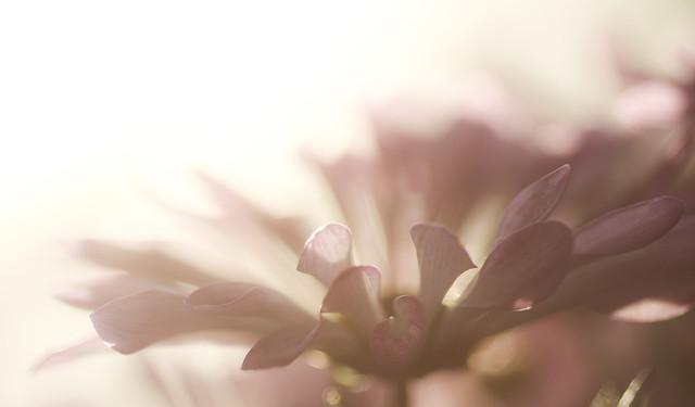 Pink Chrysanthemum - 188 of 215