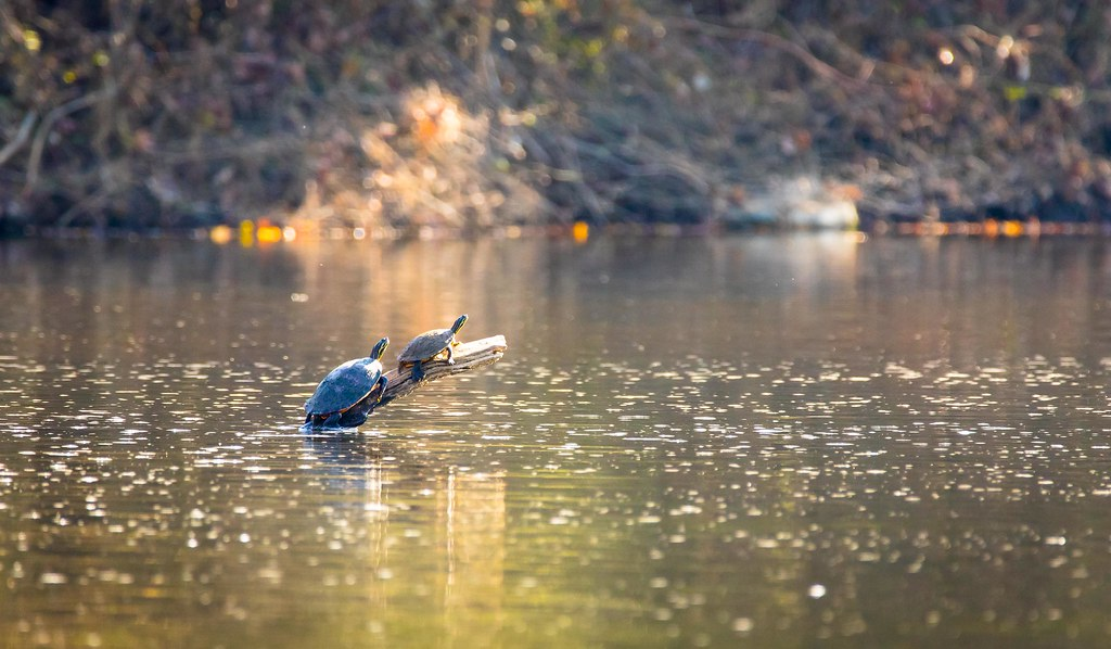Turtles on a log in the Haw River