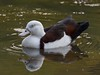 Rajah Shelduck (aka Burdekin Duck) (Tadorna radjah).01 by Geoff Whalan