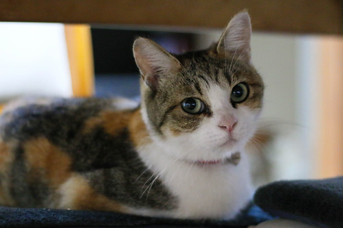 IMG_6945 Calico Japanese cat 縞三毛猫