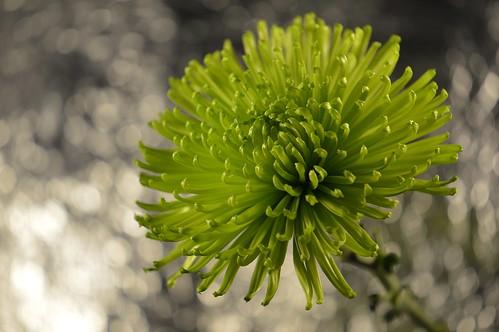 Bokeh Chrysanthemum.