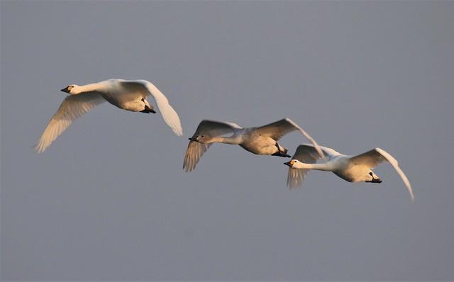 Bewick's swans (Cygnus columbianus)                                         Cob , Pen and Cygnet .