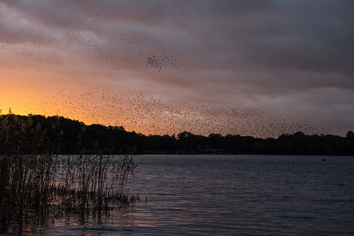 starlings birds murmuration wildlife nature sturnusvulgaris frenshamgreatpond frenshampond surrey pond lake reeds
