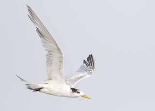 Great Crested Tern | by See Toh Yew Wai