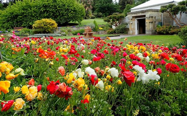 Ranunculus Flower Garden
