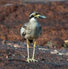 Beach Stone Curlew at East Point_6919 by Jen Crowley Photography