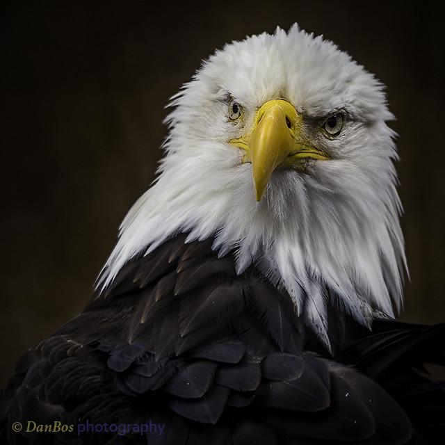 Portrait of a Royal Bald Eagle