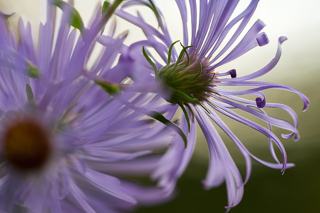 _DSC3788_Fall asters-3