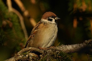 Eurasian tree sparrow   --  Passer montanus | by manum.net - Photos from Manum Gård