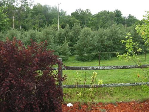 savondescantons magog argousier buckthorn arbrisseau arbuste shrub clôture fence m impatience saveearth supershot coth coth5 paysage landscape