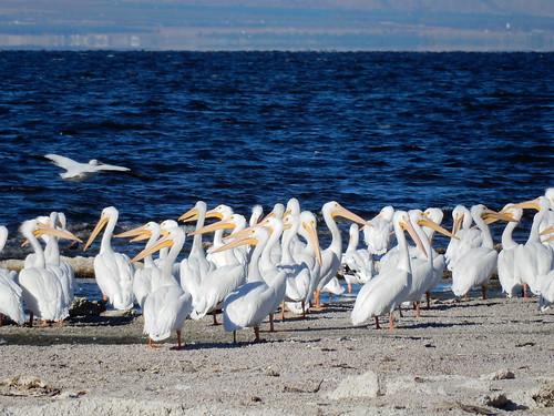 Salton Sea State Park - veel pelikanen