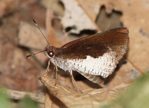 butterfly ecuador hesperiidae jorupe loja richhoyer urracalodge