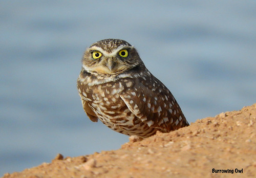 -Owl-Burrowing-AZ-Mesa-DSCN4230 | by Tricolor Brian