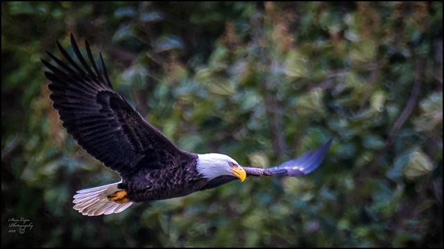 Eagle Against Foliage