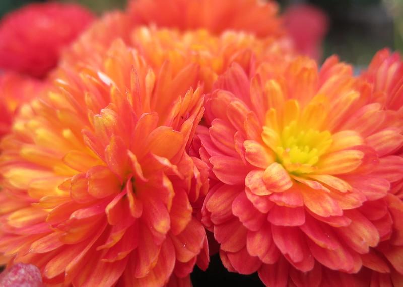 Flaming chrysanthemum
