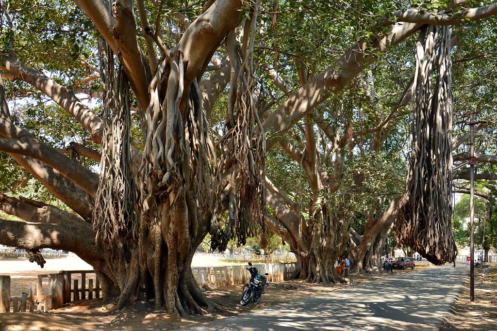 India - Tamil Nadu - Vellore - Kannamangalam - Giant Banya