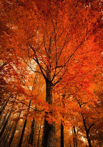 williston vermont unitedstates us tree fall foliage colors orange red yellow sugar maple forest
