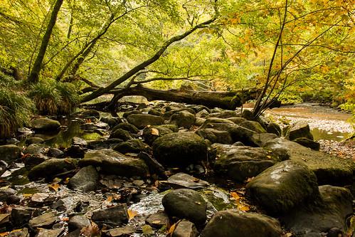 river teign rocky tree fallen water foliage autumn gold yellow brown green devon dartmoor nationalpark england uk outdoor landscape nature
